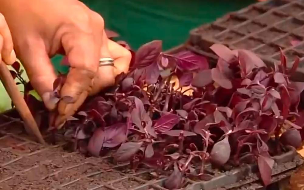 Mudas de plantas são cultivadas a partir da reutilização de materiais recicláveis, em Goiânia — Foto: Reprodução/TV Anhanguera