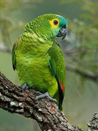 O papagaio é a única ave que consegue imitar os seres humanos